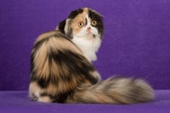 The Highland Fold Cat Breed