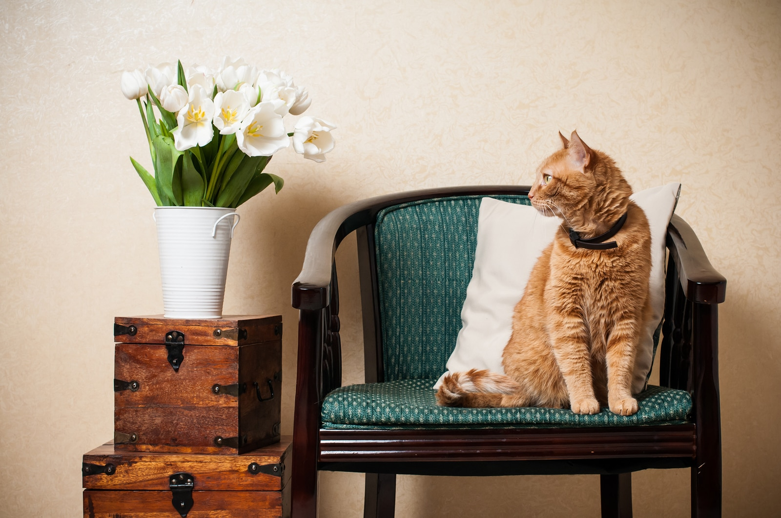 Home interior, cat sitting in an armchair, a wall and a bouquet of white tulips