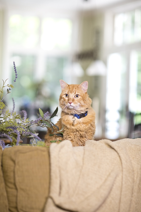 Orange tabby sitting behind tan couch next to lilac plant