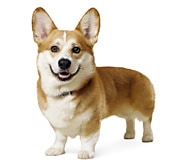 The Pembroke Welsh Corgi Dog Breed