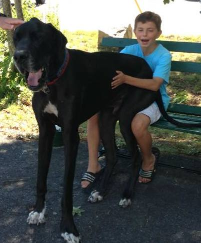 Black great dane sits on boy's lap at the park.