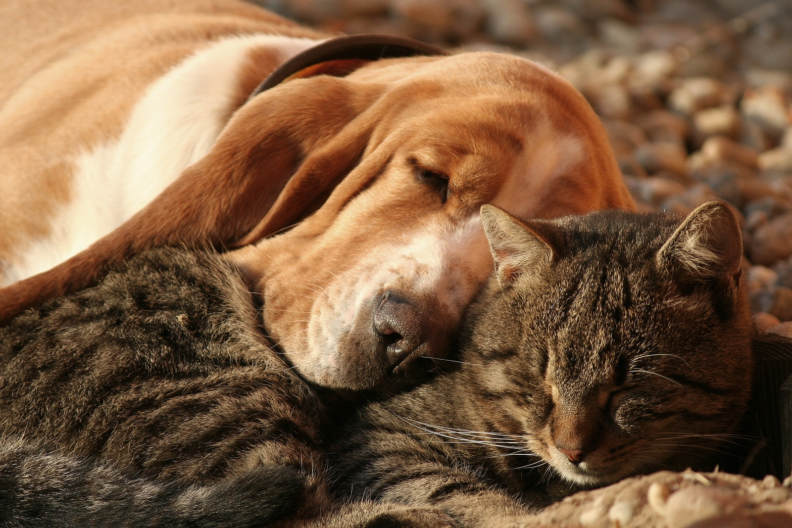 Tabby cat and basset hound snuggle together.